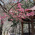 20180125 PART2 武陵的繽紛梅花(北谷遊)