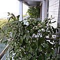 20131228 陽台的金桔樹開花了