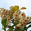 苦楝樹開花