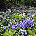 竹子湖高家繡球花園