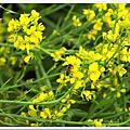 生態油菜花及雙連埤環湖步道