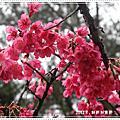 【2012南投霧社】二月櫻花開