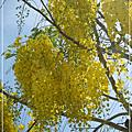 【2012夏.台南善化】五月盛開的阿勃勒