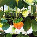 2012-10月11月跨季節草莓開花著果紀錄