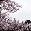 20150409日本彥根城賞滿開櫻花