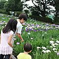 11六月。菖蒲盛開的鄰近公園散策