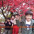 07十一。大山賞楓。汐留夜景。外苑黃杏。