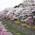 11四月。很萌的了法寺+昭和紀念公園賞櫻