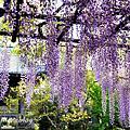 16四月。紫藤。西新井大師