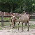 可愛的駱駝