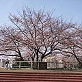 20100406 櫻花
