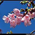 201012櫻花紅