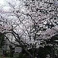 2010九州賞櫻之旅