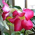 20080521沙漠玫瑰開花了