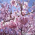 武陵。櫻花 2012.2.19