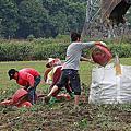 採收地瓜農家樂