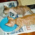 橘子貓與小花貓