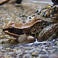拉度希氏赤蛙
