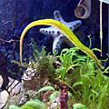 鳳梨海馬缸