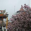 淡水天明宮櫻花