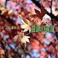20191123~25福壽山 合歡溪步道 武陵(福壽山篇)
