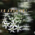 20200913大溪韭菜花海