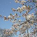 挖~櫻花開了!