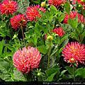 2012 舊金山大理花花園(Dahlia Garden)