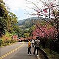 [新店] 花園新城櫻花 + 烏來西羅岸路櫻花