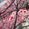 02/03/2013 稱史人的饗食天堂ATT 4 FUN。信義區也有櫻花出沒