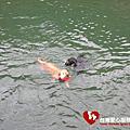 991129第二次狗狗游泳社會化
