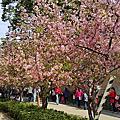 2016 0305  新竹公園河津櫻