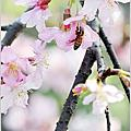 小半天-石馬公園拍櫻花