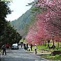 2011_武陵櫻花祭