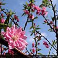春天櫻花季('12)