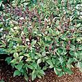 香草植物--羅勒