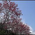 《春遊賞花》木柵杏花林‧杏花與山櫻花爭豔