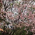 200903-天元宮賞櫻花