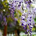 106.4紫藤花開