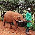 Kenya*奈洛比。小象孤兒院David Sheldrick Elephant Orphanage
