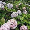 2012.08.25說好的繡球花呢@杉林溪森林遊樂園