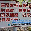 2011嘉義吳鳳南路軟枝黃蟬