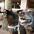 【找狗】關於找狗/找貓這件事情-以名叫Anego/肉燥麵的狗走失為例