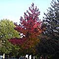 倫敦四季之秋。葉