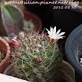 Cactus Mammillaria ??