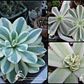 Orostachys melacophylla v. iwarenge f.variegata / 富士