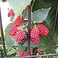 090727 令我垂涎欲滴的黑莓