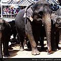 02PINNAWELA大象孤兒院看大象洗澡與遊行