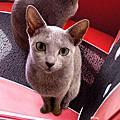 俄羅斯藍貓~Emeraude
