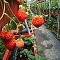 過年的草莓園